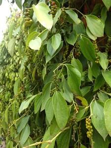 Pepper vines